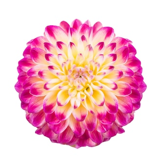 Deautiful blume der rosa dahlie lokalisiert auf einer weißen oberfläche