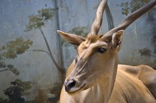 Deer buck, geweih