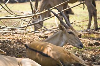 Deer buck, paarung