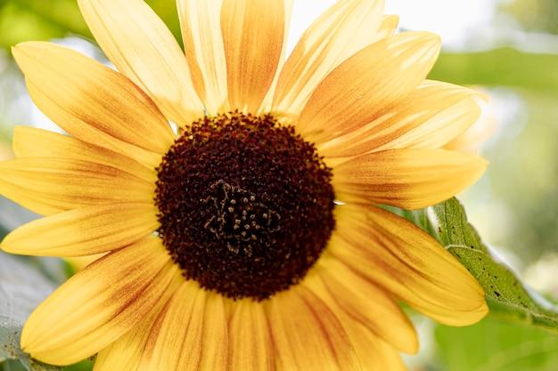 Dekorative helle sonnenblume im garten gegen den blauen himmel. unscharfer wissenshintergrund. schöne blume im garten.