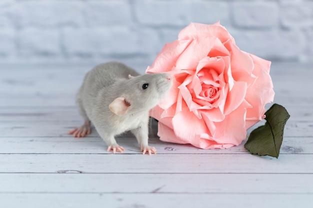 Dekorative niedliche graue ratte sitzt neben einer rosenblume. auf dem hintergrund einer weißen backsteinmauer. eine nahaufnahme eines nagetiers.