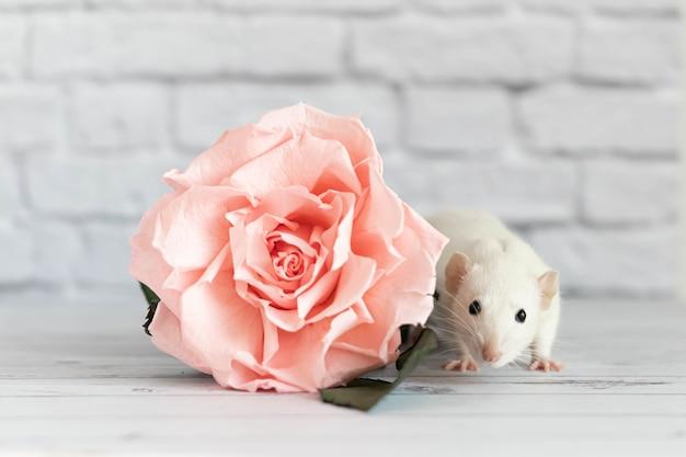Dekorative niedliche weiße ratte sitzt neben einer rosenblume.