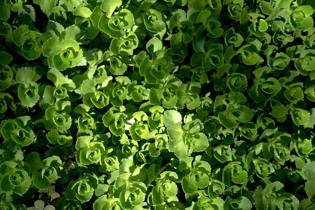 Dekorative pflanze als hintergrund und textur