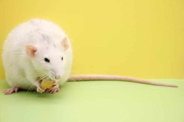 Dekorative ratte isst den käse. die ratte ist ein symbol des neuen jahres 2020.