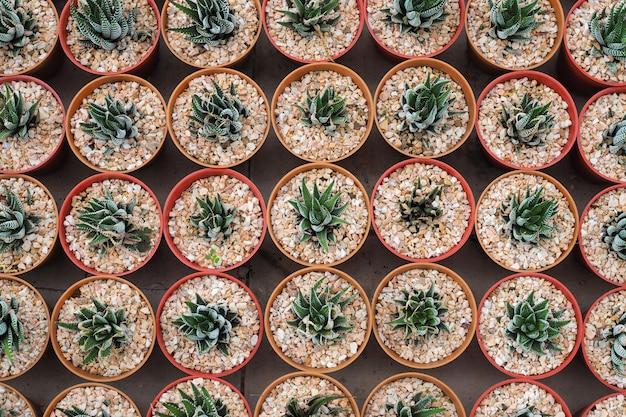 Dekorative saftige miniaturpflanzen im blumentopf, aloe vera. ansicht von oben