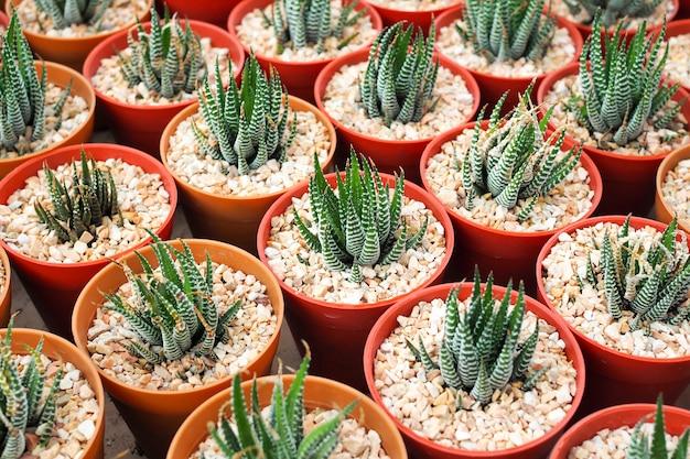 Dekorative saftige miniaturpflanzen im blumentopf, aloe vera