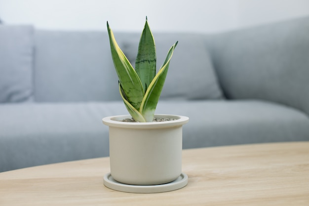 Dekorative sansevieria-pflanze auf holztisch im wohnzimmer. sansevieria trifasciata prain im grauen keramiktopf.