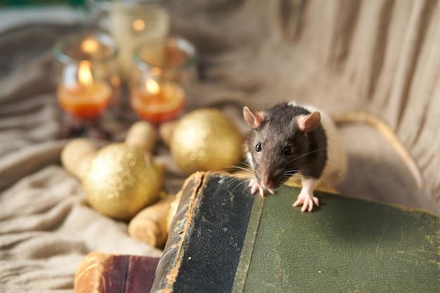 Dekorative schwarz-weiß-ratte unter weihnachtsspielzeug und kerzen. 2020 neujahrssymbol.