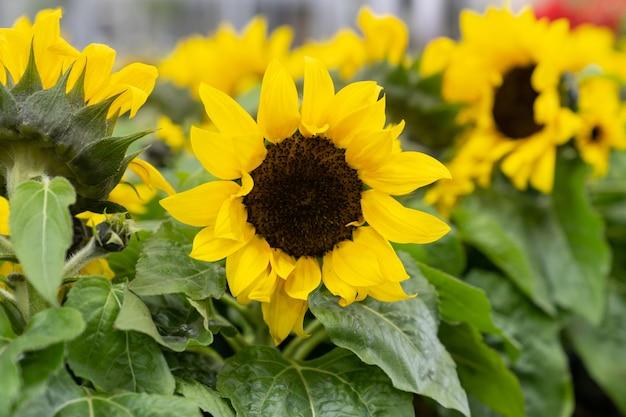 Dekorative sonnenblumen, die im gewächshausanbau von pflanzen für den verkauf und den gartenbau blühen
