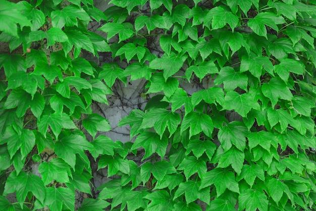 Dekorative wand mit grünen blättern wand aus grünem efeu hedera spiralnaturkonzept für design