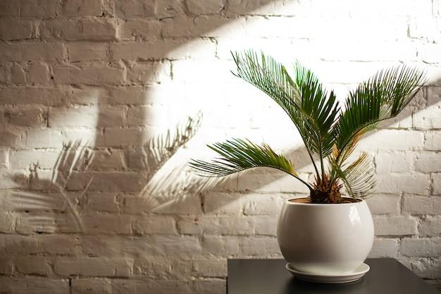 Dekorative zimmerpflanze in einem topf