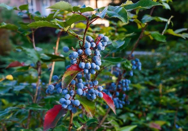 Dekorativer busch mit blauen beeren. für platz, park, garten.