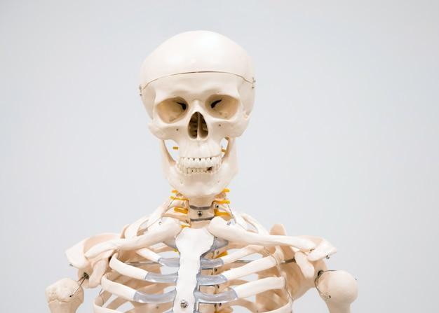 Dekoratives menschliches skelettmodell und schädel, die im krankenhaus zum studieren ausgestellt werden.