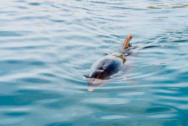 Delphin an der oberfläche zum atmen nähert sich der küste, um touristen zu begrüßen.