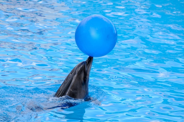 Delphin, der mit einer blauen kugel spielt. delphin hält den ball auf der nase.