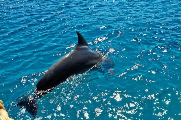 Delphin im roten meer. eilat israel september 2018