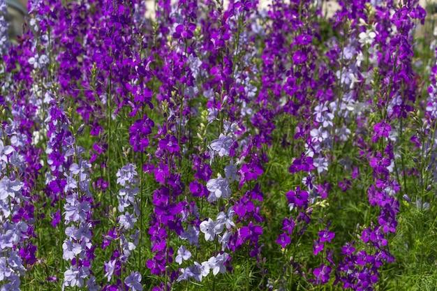 Delphinium blüht im garten hellblau lila blumen