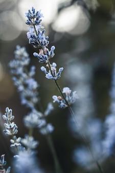 Delphiniumblau wächst im garten. doppelte delphiniumblaue blume. delphinium blue dawn