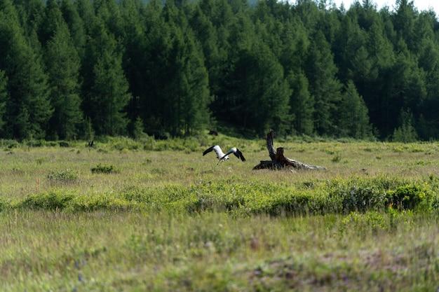 Demoiselle crane fliegt im dorf khichan in indien