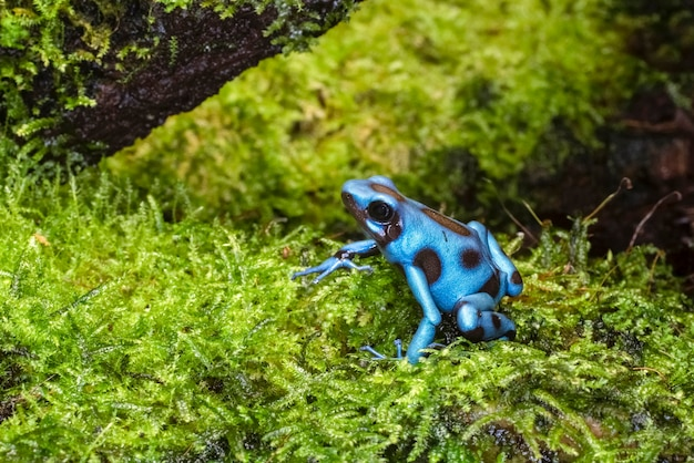 Dendrobates auratus el cope ist eine art pfeilgiftfrosch, der in den tropischen regenwäldern mittel- und südamerikas heimisch ist