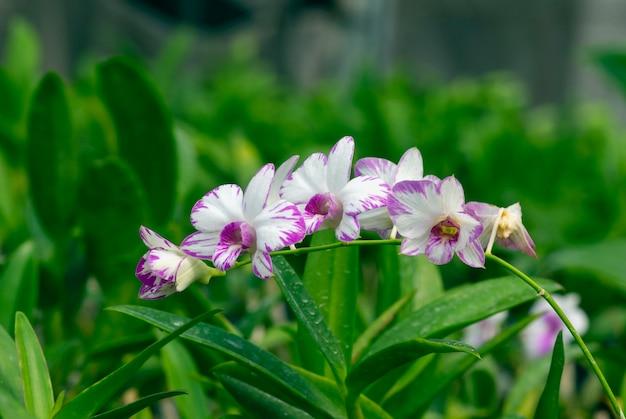 Dendrobium enobi orchidee im kinderzimmer