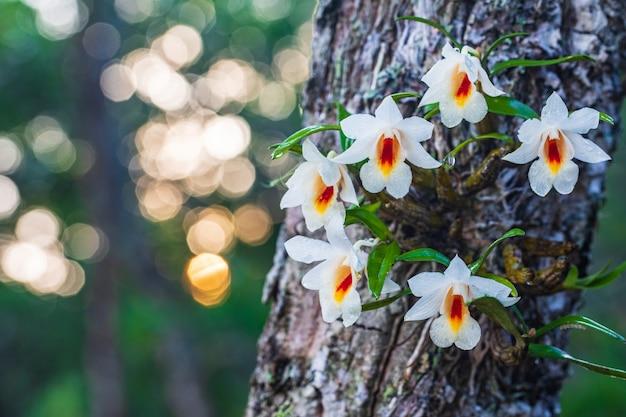 Dendrobium fuerstenbergianum schltr., schöne seltene wilde orchideen im tropischen wald von thailand.