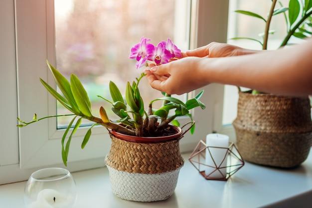 Dendrobium orchidee. frau, die um hauptplatten sich kümmert. nahaufnahme von den weiblichen händen, die blumen halten
