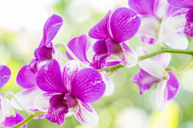 Dendrobium sonia orchidee