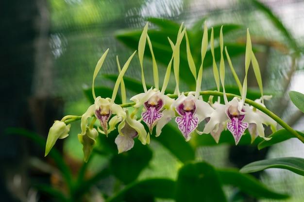 Dendrobium stratiotes orchidee im kinderzimmer.