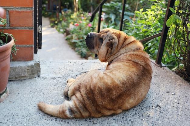 Der ältere hund sharpei liegt friedlich im hof in der nähe des eingangs zum garten