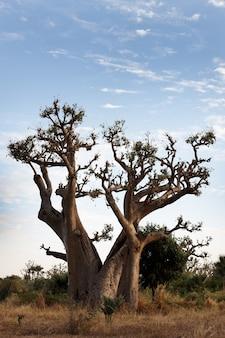 Der affenbrotbaum