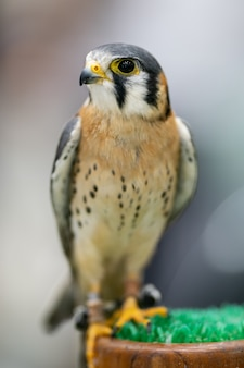Der amerikanische turmfalke (falco sparverius) ist der kleinste falke