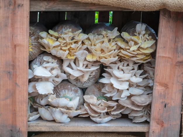 Der anbau der indischen oyster oder der lung oyster wachsen aus plastiktüten