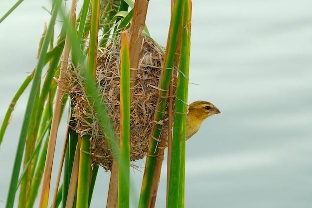 Der asiatische goldene webervogel in der natur.