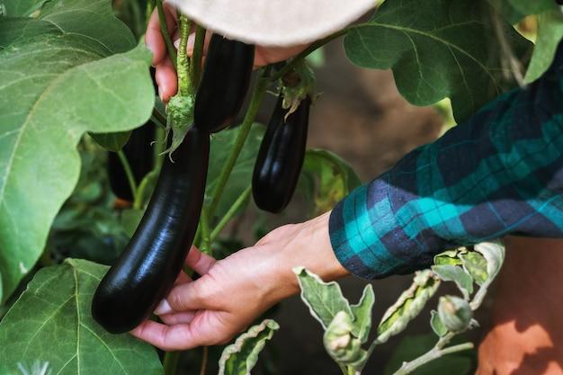 Der bauer im garten überprüft die auberginen auf schädlinge
