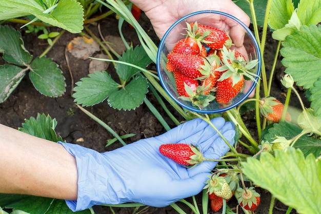Der bauer pflückt frische rote reife erdbeeren auf dem bett und legt sie in eine glasschüssel. beerenernte im sommer im garten