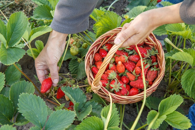 Der bauer pflückt frische rote reife erdbeeren auf dem bett und legt sie in einen weidenkorb. sommerernte von frischen beeren im garten