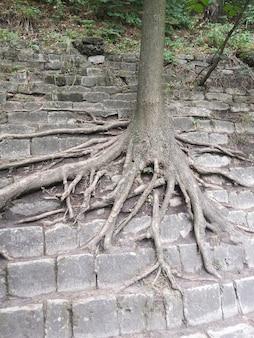 Der baum wächst am steinernen hang der stufenpyramide. zahlreiche lange wurzelzweige kriechen über die steine.