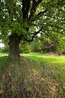 Der baum wächst im sommer des jahres einsam auf einem feld.