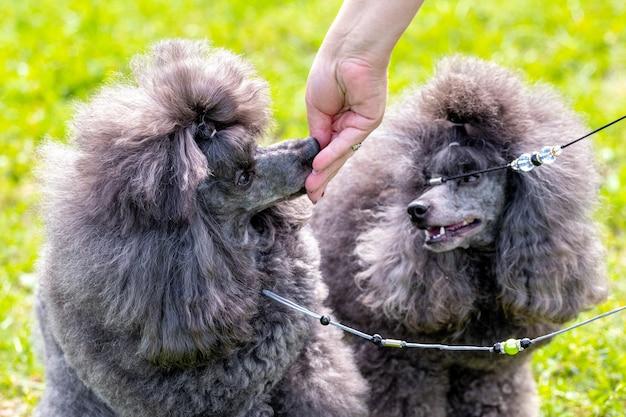 Der besitzer gibt den hunden futter aus der hand. zottelige pudelhunde konsumieren nahrung aus der hand einer frau