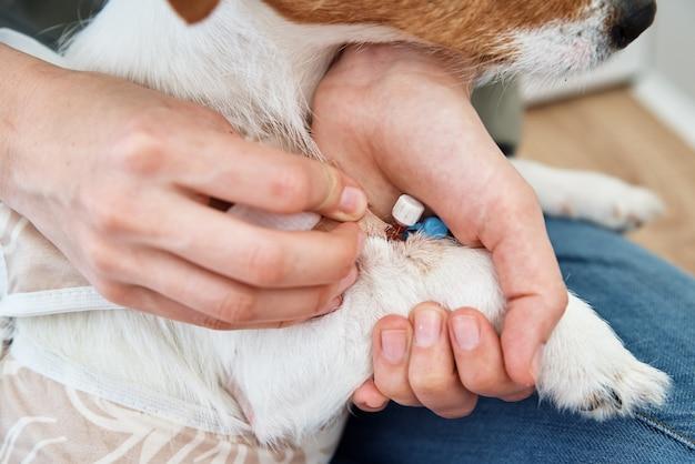 Der besitzer verbindet die pfote des hundes. tierpflege. jack-russell-terrier mit katheter. rehabilitation des tieres nach der operation