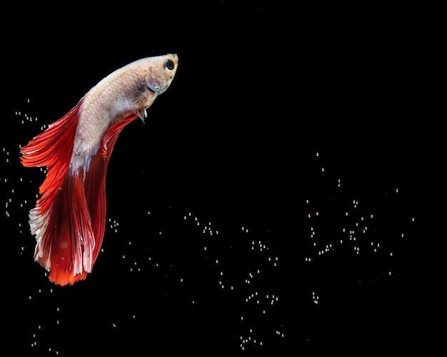 Der bewegende moment von roten und weißen siamesischen betta fischen des halbmonds