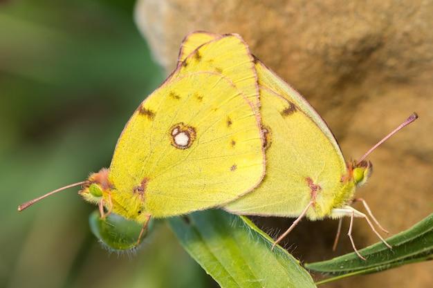 Der bewölkte gelbe schmetterling, der sich in der natur paart