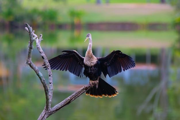Der biguatinga anhinga anhinga ist ein wasservogel, der durch seine größe auffällt