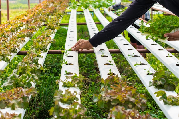 Der bio-hydrokultur-gemüseanbau in ländlichen gebieten.