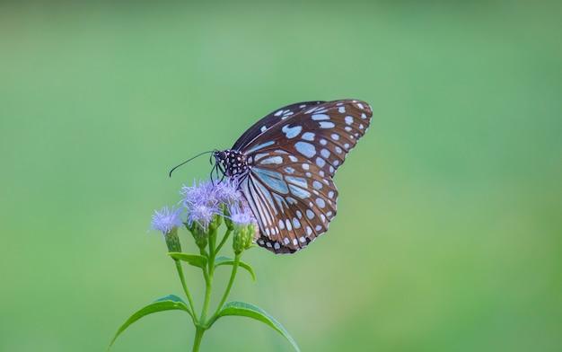 Der blaue beschmutzte milkweedschmetterling