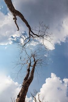 Der blaue himmel und die wolken des toten stehenden baumhintergrundes.