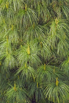 Der blühende kieferabschluß oben, blütenstaub, gelb