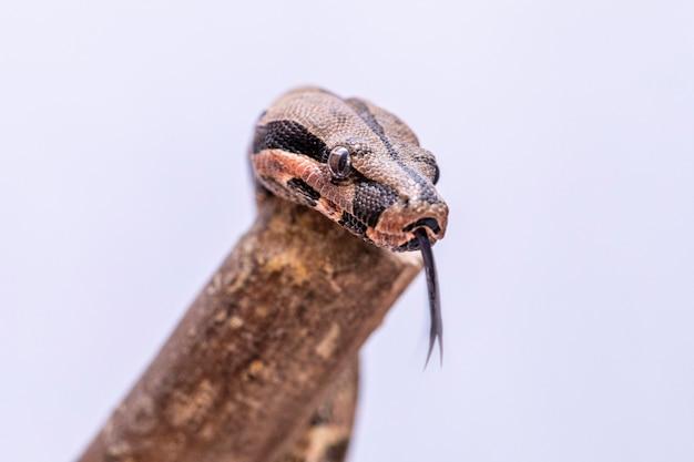 Der boa constrictor (boa constrictor), auch rotschwanzboa oder gewöhnliche boa genannt, ist eine art großer, nicht giftiger, schwerer schlangen, die häufig in gefangenschaft gehalten und gezüchtet werden