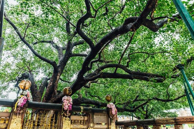 Der bodhi-baum nahe mahabodhi-tempel bei bodh gaya, bihar, indien.